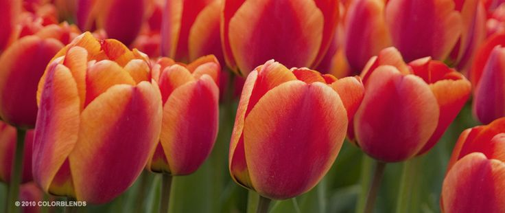 Tulip Best Red-Yellow | Perennial Tulips Bulbs for Sale | COLORBLENDS
