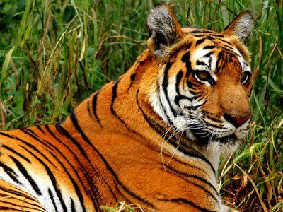 Success story: India's endangered tiger population is up 58% since 2006