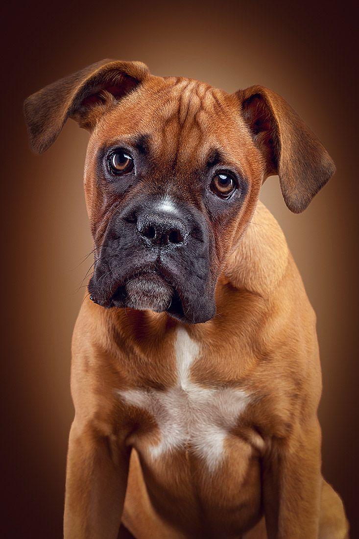 Photo Studio Berlin Photographer Daniel Hohlfeld Photo Studio Berlin Animals Photo Studio Berlin Photogr In 2020 Boxer Dog Pictures Dog Photograph Boxer Dogs