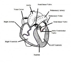 unlabelled heart diagram for children