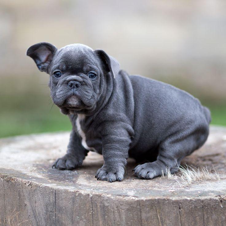 French bulldog puppy for sale French bulldog breed