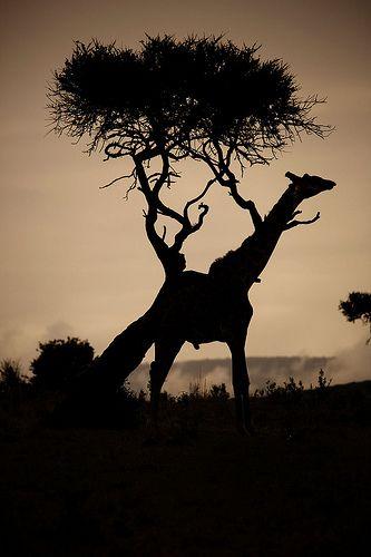 Kenya Masai Mara Girafe