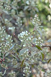 Regent Saskatoon (Amelanchier alnifolia 'Regent')