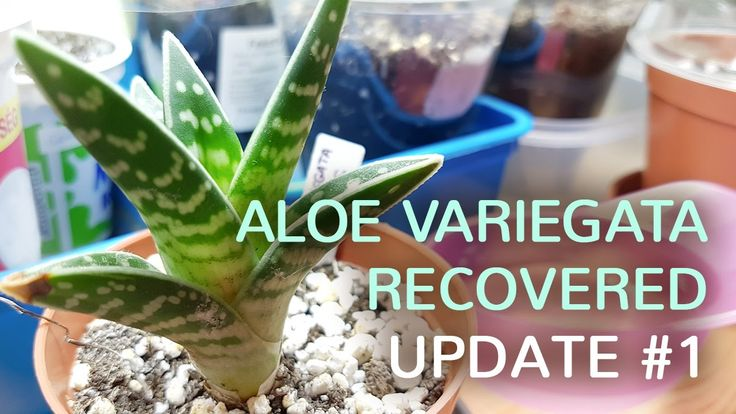 Aloe Variegata recovered from root rot and is now growing new leaves.