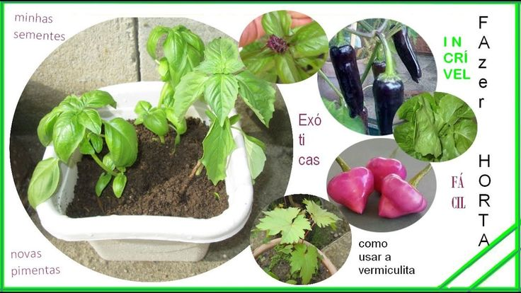 pimentas,jalapeno purple,cheiro roxa peppers,plantdo alface,sementes col...