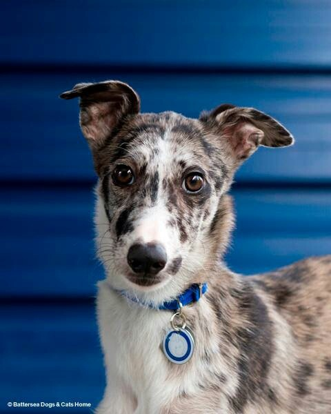 Applications Battersea Dogs Home
