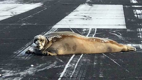 Alaska problems: Seal blocks airport runway while 'sunbathing' (PHOTO) https://tmbw.news/alaska-problems-seal-blocks-airport-runway-while-sunbathing-photo  A bizarre flight hazard turned up on an Alaskan runway recently... in the form of a bearded seal.The 450-pound animal was spotted on the tarmac the Wiley Post-Will Rogers Memorial Airport in Utqiagvik Monday, potentially posing a dangerous speed bump for incoming aircraft.The airstrip is the furthest north in the US territories and is…