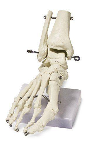 Human-Foot-Skeleton-Model-Anatomy-Science-Classroom-Education-Body-Kit-Learning