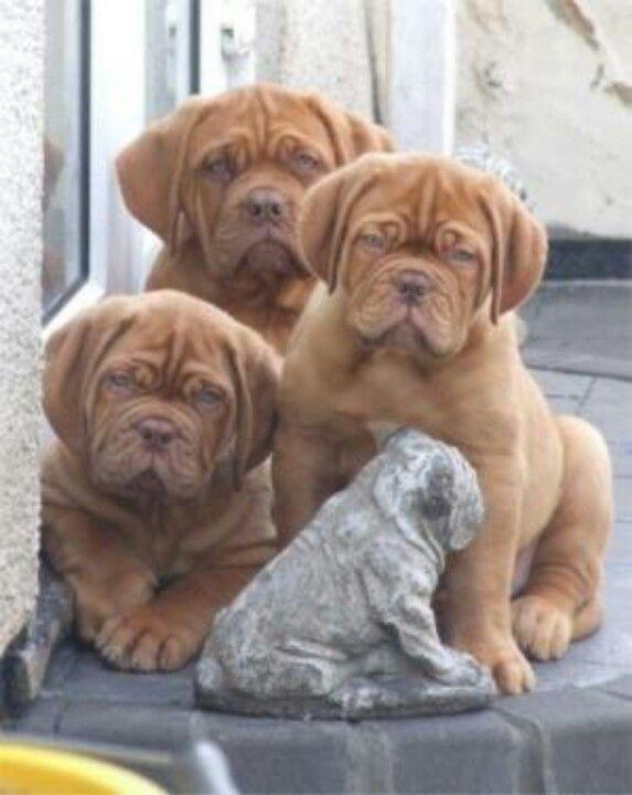 Dogue De Bordeaux / #Bordeaux #Mastiff / French Mastiff / Bordeauxdog