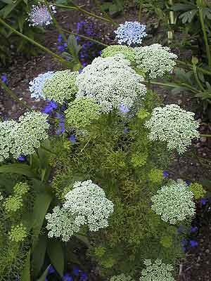 Ammi visnaga 'Green Mist', BISNAGA, FALSE QUEEN ANNE'S LACE, GREEN MIST LACE FLOWER  Family: Apiaceae, WS +SS for longer bloom display, 45 cm apart, up to 1 m high, full sun or part shade, from Prague 2012