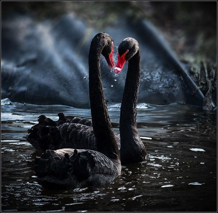 черные лебеди фото красивые ходе