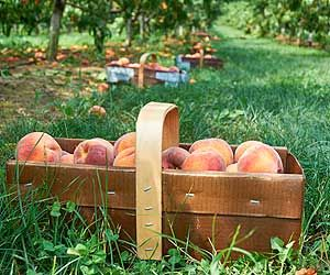 DeVries Fruit Farm - PYO Strawberries in June