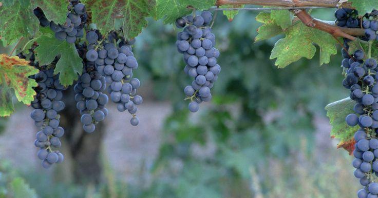 """Cómo plantar uvas sin semillas concord. Cultivar uvas en el jardín de la casa es una buena forma de ofrecerle a tu familia una fruta sabrosa y sana y satisfacerte practicando la jardinería. Hay muchas variedades que puedes plantar, tanto con como sin semillas. Las concord sin semillas (Vitis labrusca x """"Concord sin semillas"""") se usan para hacer mermeladas y gelatinas y para comerlas ..."""