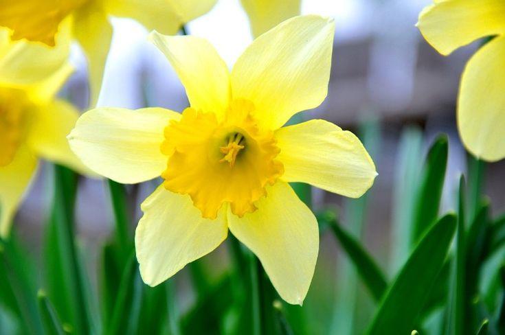 le narcisse jaune provoque des douleurs abdominales, nausées, vomissements et diarrhées