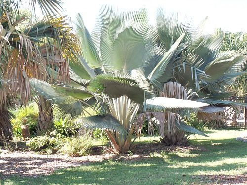 Rare Endangered Cuba Palm At Key West Tropical Forest And Botanical Garden See Florida Keys
