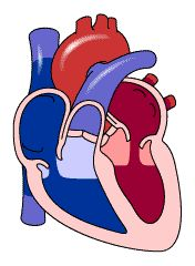 Cardiovascular I: The Beating Heart