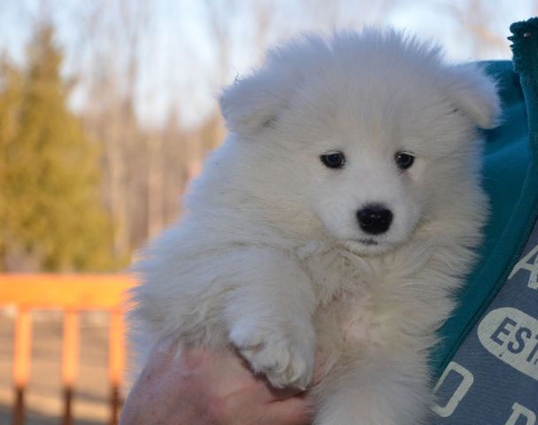Samoyed Pure White dogs, puppies for sale Ottawa