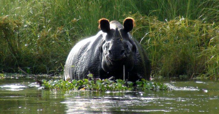 swimming hippo