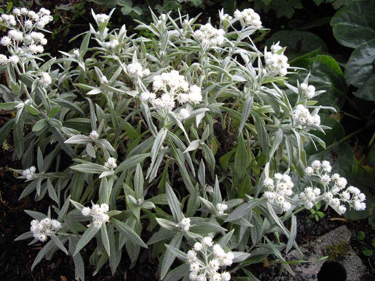 Anaphalis triplinervis - siberische edelweis kopen | Maréchal