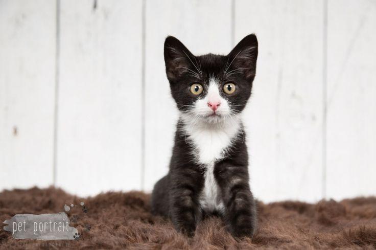 Kattenfotograaf Hillegom - Kittens Sigyn en Sol-21