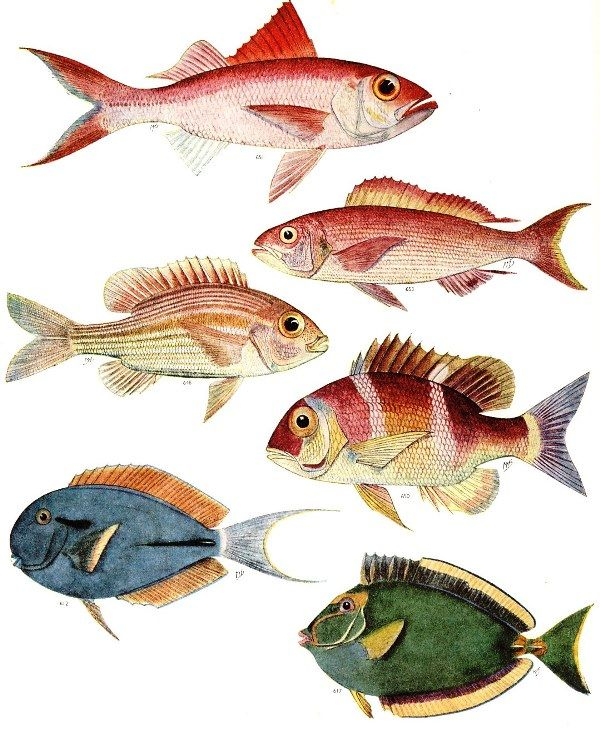 """intheheatherbright: """" Snappers, Bream, Surgeonfish and Unicornfish. Prof. J. L. B. Smith, The Sea Fishes of Southern Africa, illustrations Margaret M. Smith (Johannesburg: Central News Agency, 1972 [1949]) """""""