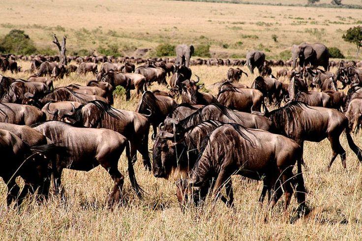 The Serengeti Wildebeest Migration   HappyTrips.com