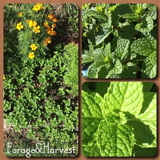 We love sharing information about edible plants. If you've missed it here is what has been going on over at our Instagram account. Stop by next time your on: @forageandharvest  ---Marvellous mint. Mentha sachalinensis, maker of mojitos, tea, mint sauce and much much more. It grows like crazy in the garden so your better of putting it in a pot (unlike me).--- #growyourownfood #eattheweeds #ediblegarden #wildfood #veggiegarden #eatfromtheearth #edibleplants #veggiepatch #growfoodnotla..