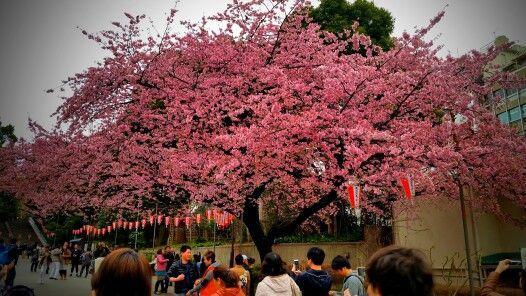 Ueno Park Tokyo Japan Cherry Blossoms