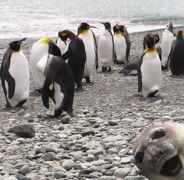 Hihhi !! 9. Un manchot particulièrement rieur et un hippopotame qui nous fait un beau sourire