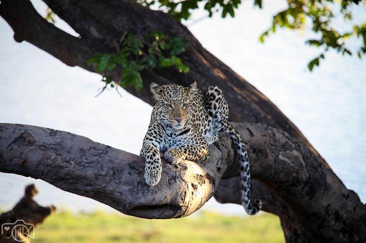 African Travel – Chobe #nature #leopard #Botswana