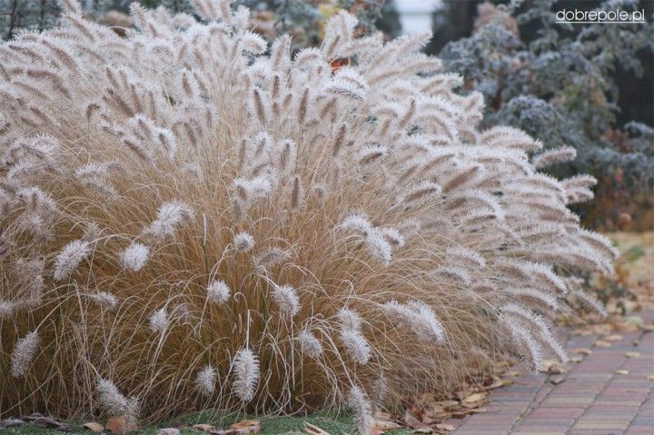 Dwarf Fountain Grass forming a mound of arching eaves and bottlebrush spikes of silvery-white flowers. Useful in mass as a border planting.