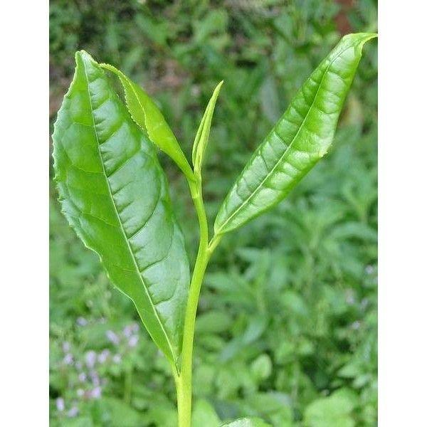 1 Kg. Yeşilçay Toz Ekstresi,Camellia Sinensis,Green Tea Extract - Doğal Tedavi - İbrahim Gökçek - Alternatif Tıp - Bitkisel Ürünler - İksir - Alovera - Bitkisel Sağlık Ürünleri - Şifalı Bitkiler - Bitkisel Setler - Bitkisel İlaçlar - Herbalist İlaç Değil Bitkisel Gıda Takviyesidir. www.alternatiftip.com.tr