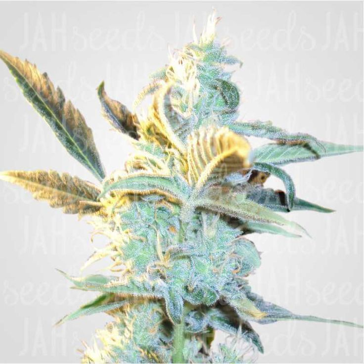Auto Amnesia Feminised всходят растениями с типичной моделью роста сативы, но при этом с более быстрым этапом созревания. Преобладание вида также прослеживается и в большинстве других особенностей. Данная вариация, в отличие от оригинала, имеет компактные формы, что делает ее культивацию в гроубоксах или помещении значительно удобней. Сперва может показаться, что соцветия очень легкие, но на стадии цветения они нальются