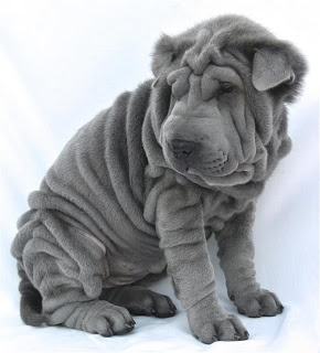 blue shar pei puppy. I have been wanting one of this forever!!!