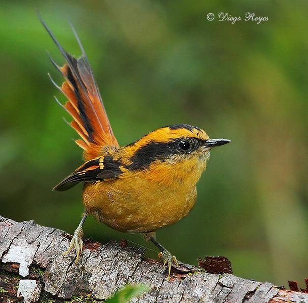 Thorn-tailed Rayadito (Aphrastura spinicauda) Photo (c) Diego Reyes