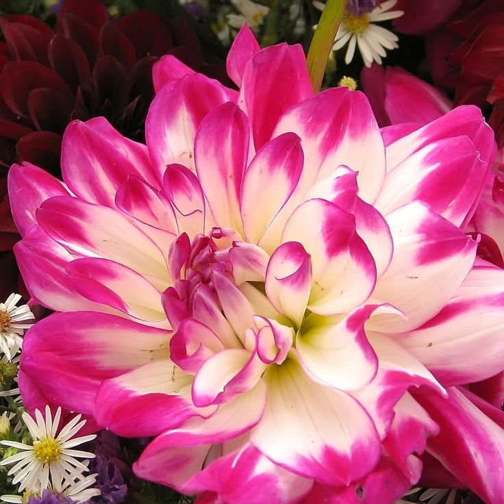 Planting dahlias is not very difficult. They are either grown from seed or tubers or bulbs. They come in a variety of colors and sizes, and are quite versatile in the garden. Get planting tips for dahlias here.