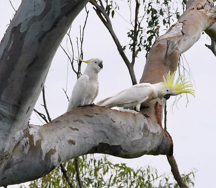 Sulphur Crested Cockatoos at a nesting Hollow at Ipswich