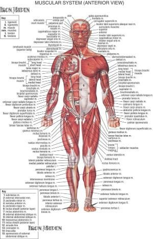 38 best Muscle Maximizer images on Pinterest Health fitness - muscle chart template