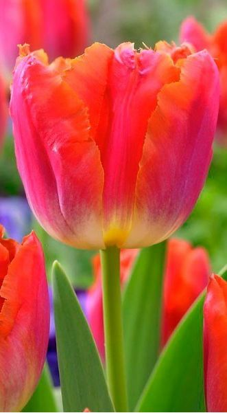 Tulip 'Miami Sunset' Beautiful gorgeous pretty flowers