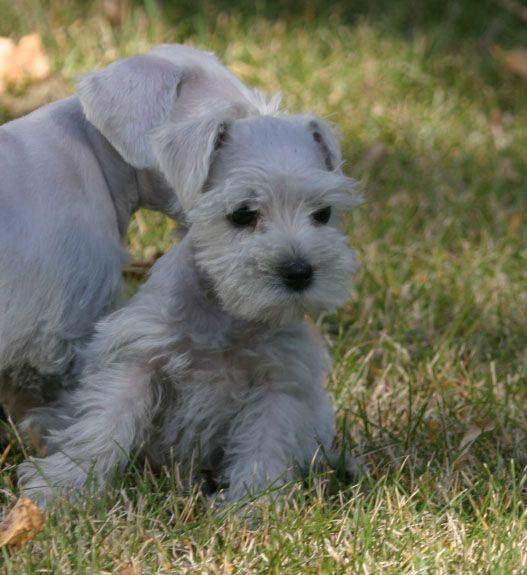 Miniature Schnauzer Puppies | Miniature Schnauzer puppies playing outside!