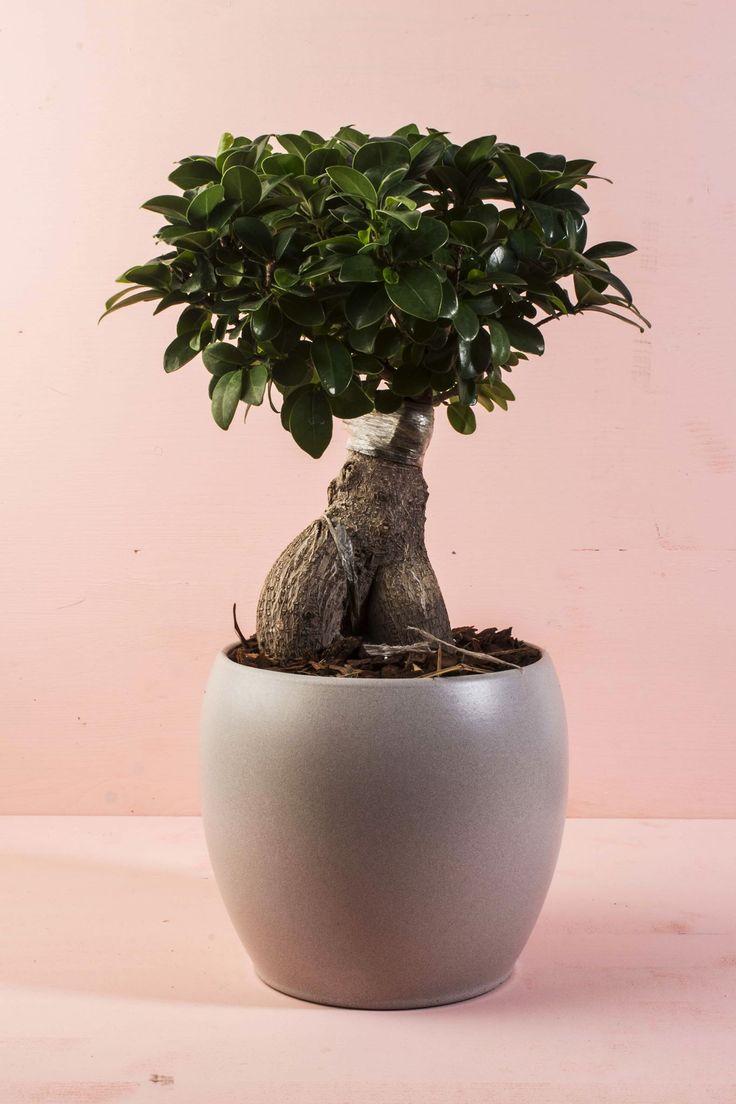 Bonsai ficus ginseng Paganopiante in shabby style. Vaso in ceramica colore tortora, perfetto per arredare casa