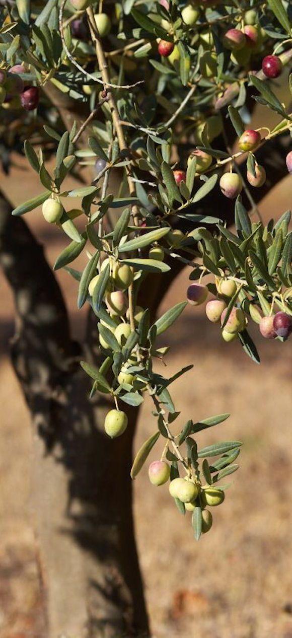 311 Best Olives Images On Pinterest Olive Tree Olives And Olive Oil