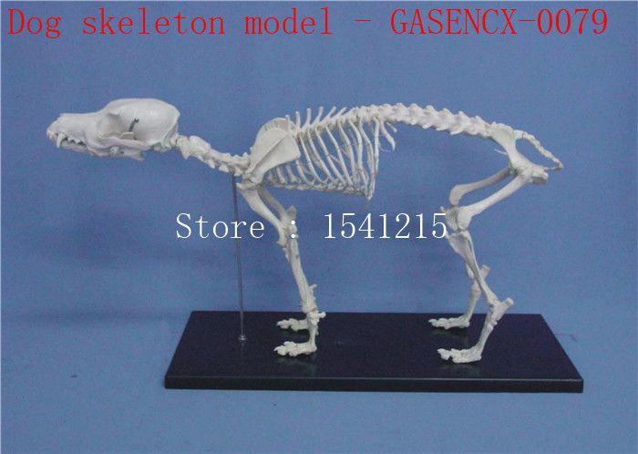 Animal skeleton model Animal Anatomy Model Veterinary specimens Dog skull bone Skeleton model Dog skeleton model - GASENCX-0079