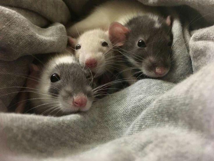 крыса с крысятами фото них