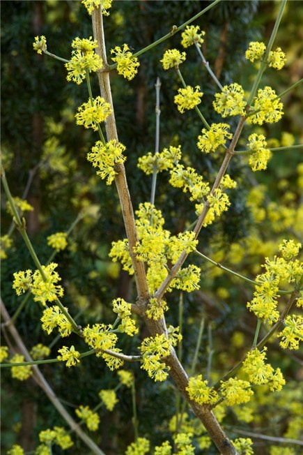 The delicate yellow blossom of the cornelian cherry is a world apart from the better known flowering dogwoods such as c. florida and c. kousa.