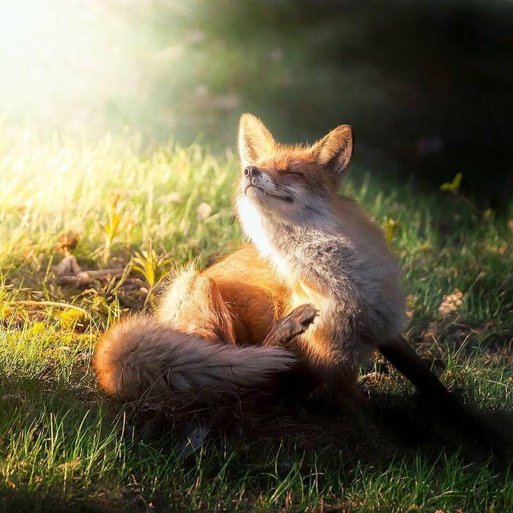 картинки с лисицами доброе утро это