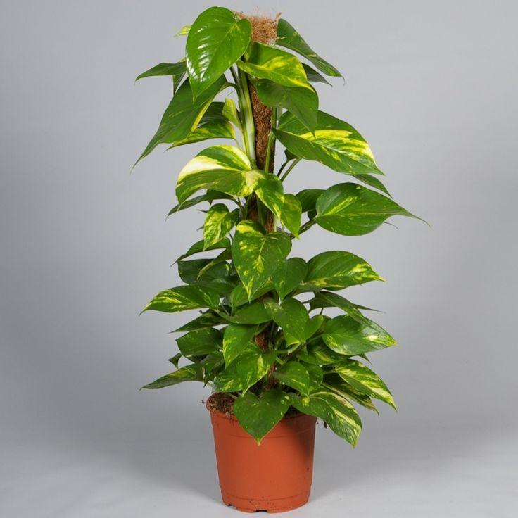 zimmerpflanzen für wenig licht efeutute gruen blaetter muster kletterpflanze