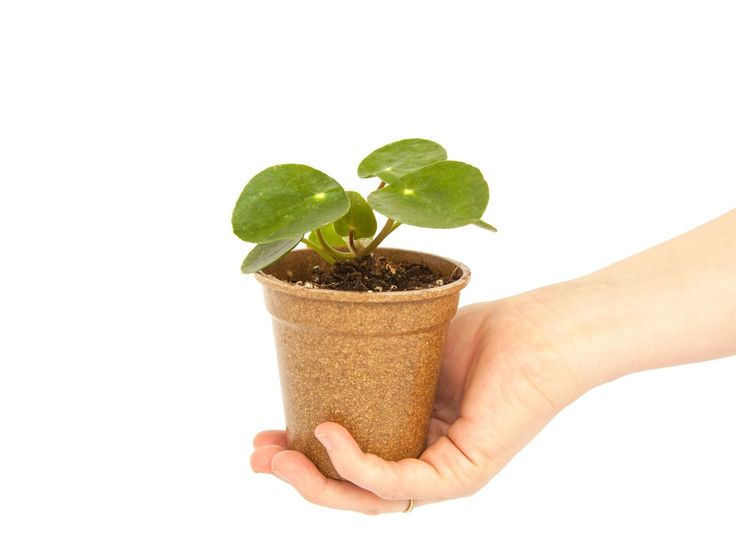 best 25 chinese money plant ideas on pinterest money plant chinese plants and plants indoor. Black Bedroom Furniture Sets. Home Design Ideas