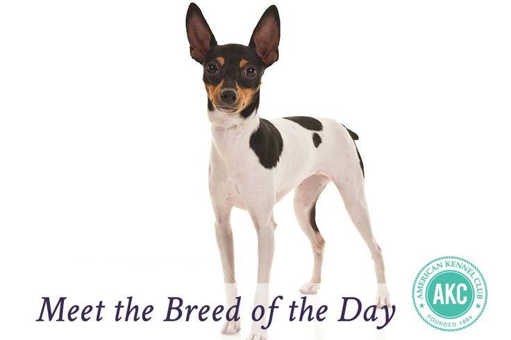 Toy Fox Terrier Dog Breed Information - American Kennel Club