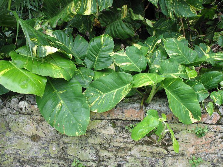 hojas de planta poto